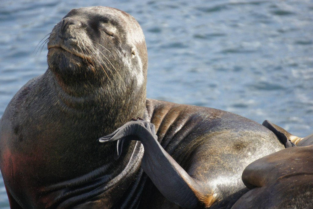 valdivia_sea_lion